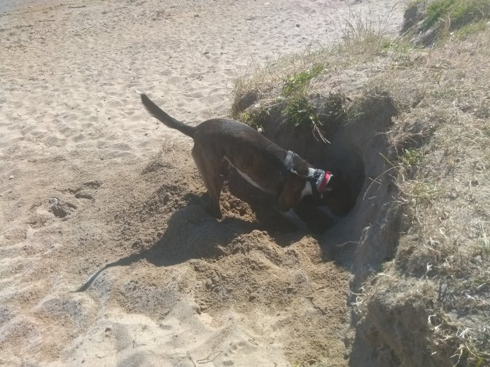 Photo of a dog digging furiously on the beach