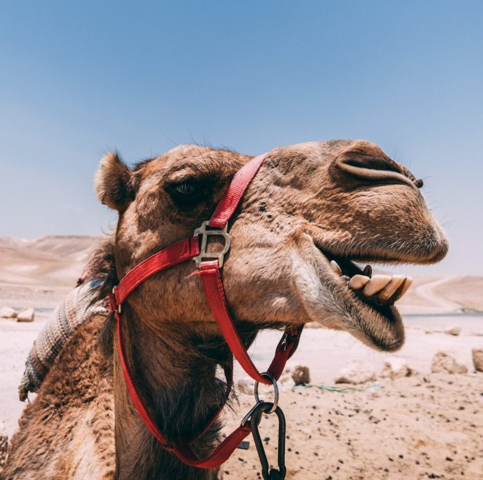 A photo of a beautiful camel